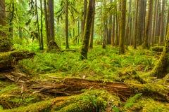 De oude Sleep van de Bosjesaard in Olympisch Nationaal Park, Washington, Verenigde Staten stock afbeeldingen