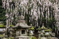 De oude steen Japanse lantaarns en het bloeien vertakken zich sakura in het Grote Heiligdom van Kasuga, Nara, Japan stock foto
