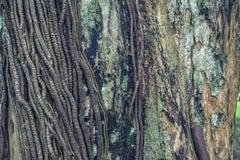De oude Textuur van de Schorswortel Stock Foto's