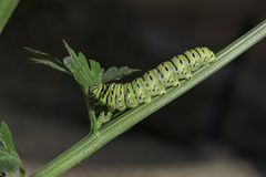 De oude Vlinder Caterpillar die van Wereldswallowtail Selderiebladeren eten stock afbeelding