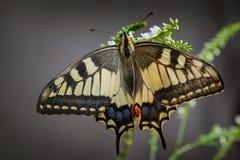 De oude Vlinder van Swallowtail van de Wereld Royalty-vrije Stock Afbeeldingen