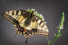 De oude Vlinder van Swallowtail van de Wereld stock foto