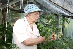 De oude vrouw in een broeikas bij struiken Stock Foto