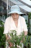 De oude vrouw in een broeikas bij struiken Stock Foto's