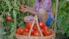 De oude vrouw verzamelt indient een mand van rijpe tomaten in de serre stock videobeelden