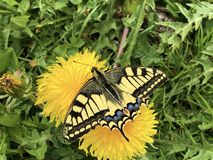 De Oude Wereld swallowtail vlinder Papilio machaon of Schwalbenschwanz Schmetterling royalty-vrije stock foto