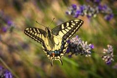 De oude zitting van de Wereld swallowtail vlinder op een lavendelbloem stock afbeelding