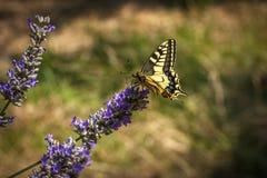 De oude zitting van de Wereld swallowtail vlinder op een lavendelbloem stock foto's