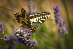 De oude zitting van de Wereld swallowtail vlinder op een lavendelbloem royalty-vrije stock afbeelding