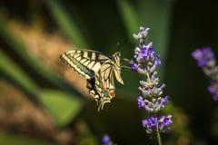 De oude zitting van de Wereld swallowtail vlinder op een lavendelbloem stock foto