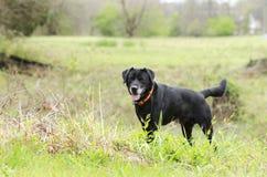 De oudere Zwarte hond van Labrador Retreiver met grijze snuit en jagers oranje kraag royalty-vrije stock fotografie