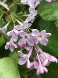 De ouderwetse vulgaris bloemen van Syringa na de regen Royalty-vrije Stock Foto's