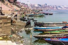 31 de outubro de 2014: Touros pela água em Varanasi, Índia Imagens de Stock