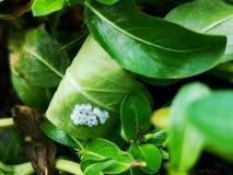 De ova van het Stinkyinsect op de bodem van een blad stock afbeelding