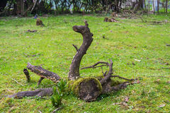 De ovanliga rotar av ett gammalt träd royaltyfria bilder