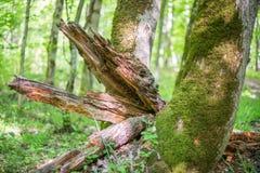 De overblijfselen van ontbonden boomboomstam dichtbij het leven bemoste boom royalty-vrije stock afbeeldingen