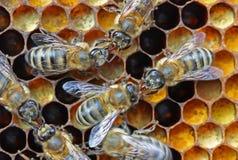 De overdracht van de nectar of van de honing. Stock Foto's