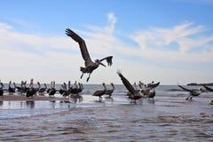 De overeenkomst van de pelikaan Stock Afbeeldingen