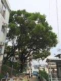 De overheid doodt de 100 éénjarigenboom Stock Foto's