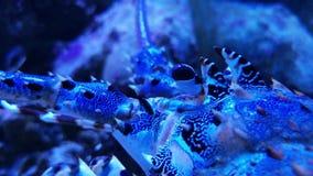 De overladen zeekreeft bevlekte schaaldierdier in tank stock footage