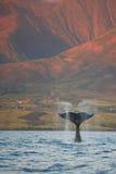 De overtredende Bot van de Walvis van de Gebochelde stock afbeeldingen