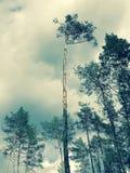 De overweldigende slingering van pijnboombomen voor de wolken - de LENTE royalty-vrije stock afbeelding