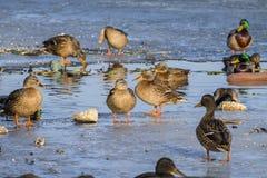 De overwintering van wilde eendeenden dichtbij open water Royalty-vrije Stock Afbeelding