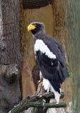 De overzees-adelaar van Steller´s Stock Foto