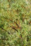 De overzees-wegedoorn bessen op tak Stock Afbeelding