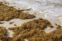 De overzeese kelp is vastgelopen op de stranden stock foto