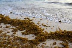 De overzeese kelp is vastgelopen op de stranden stock fotografie