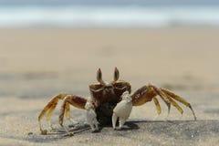 De overzeese krab Royalty-vrije Stock Afbeeldingen