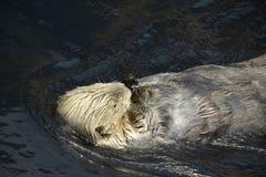 De overzeese Otter likt een ijsblokje royalty-vrije stock fotografie