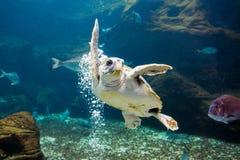 De overzeese schildpad Stock Afbeeldingen