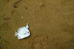 de overzeese vis was dood op nat zand nadat zijn niet van eb kan ontsnappen royalty-vrije stock foto's