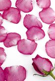 de p petalsrosa rose talos Arkivbild