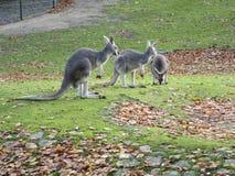 De pa en de Mammakangoeroe kijken als hun jong geitje eten grassn stock foto