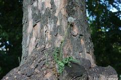 De paardebloem groeide op een boom Het ontsproot, kwam tot bloei en werd zaden stock foto's