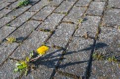 De paardebloemen groeien tussen concrete bestrating Stock Afbeeldingen