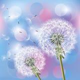 De paardebloemen van bloemen op lichte achtergrond Stock Afbeelding