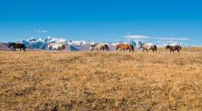 De paarden Stock Foto