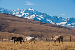 De paarden Stock Foto's