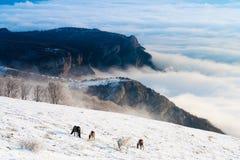 De paarden in de bergen zoeken voedsel onder de sneeuw stock afbeelding