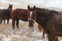 De paarden bevriezen op een sneeuwgebied Stock Foto