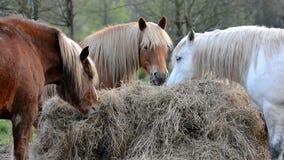 De paarden eet gras stock videobeelden