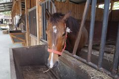 De paarden eten stro Stock Afbeeldingen