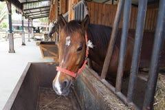 De paarden eten stro Stock Foto