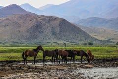 De paarden kwamen om in de Mongoolse steppe te drinken en te weiden stock afbeelding