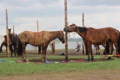 De paarden mooie plaats 2 van Mongolië Azië Royalty-vrije Stock Afbeelding