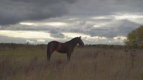 De paarden op de de herfstweide stock video